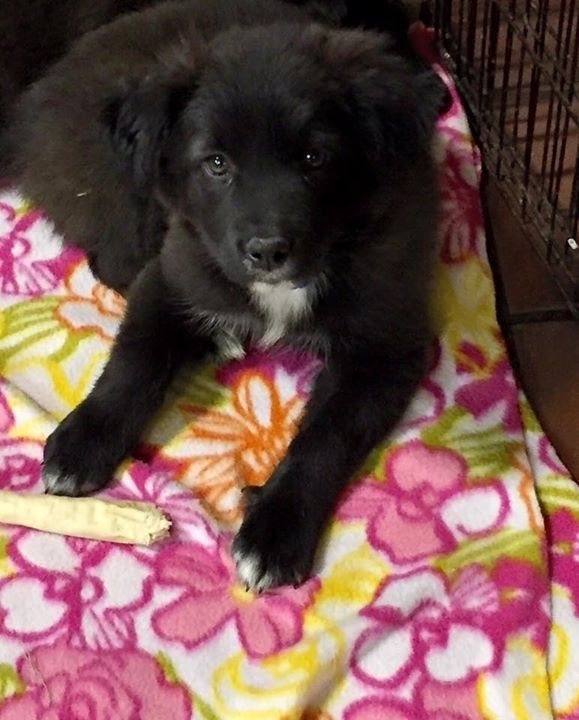 Adopt Betsy and Beemer a Black - with White Border Collie / Mixed dog in Kansas | Black, White Male Border Collie For Sale in Kansas City MO | 4222249095 | 4222249095 | Dogs on Oodle Marketplace