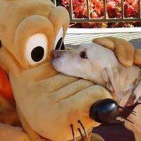 ~ Pluto is so happy to welcome all service dogs to Disney. Just another reason to <3 Disney.
