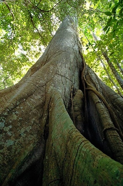 samaúma or kapok tree (Ceiba penetranda) is a tree of  the Amazon. Love this