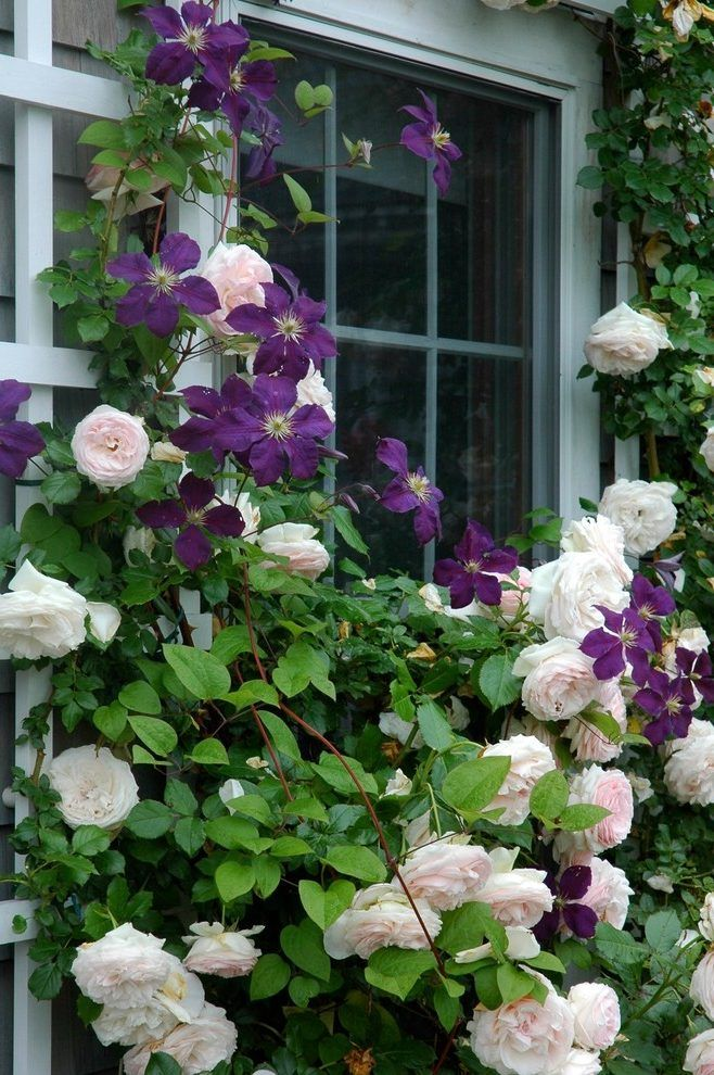 clematis on trellis landscape traditional with eden  roses and  the president  clematis entwine around a t
