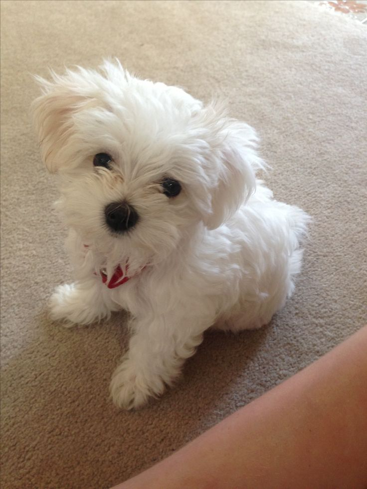 adopt maltese 1000 images about cute maltese dogs mixes on pinterest 4868