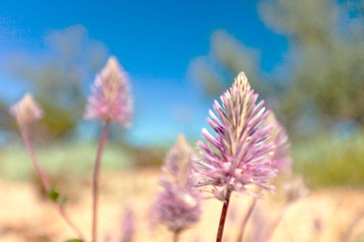 western australia wild flower