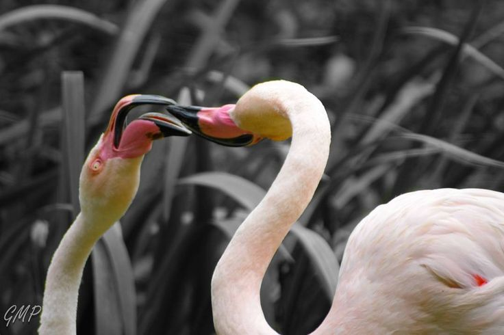 Les amoureux qui se becotent dans les .... zoos publics #zoodetregomeur #birds #animal #bretagne #jaimelabretagne #bretagnetourisme #destinationbretagne #igersbretagne #igersbreizh #fansdebretagne #unjourenbretagne #rennes_focus_on #bnw_bretagne #bestofbretagne #editmoments_bnw #ig_photostars_bw #lory_bw #bnw_greatshots #bnw_planet #masters_in_bnw  #bnw_workers #unlimitedbretagne #igpowerclubbw #bnw_addicted #bnw_hart #bnw_rose #edits_bnw #bnw_focus_on #explore_bnw