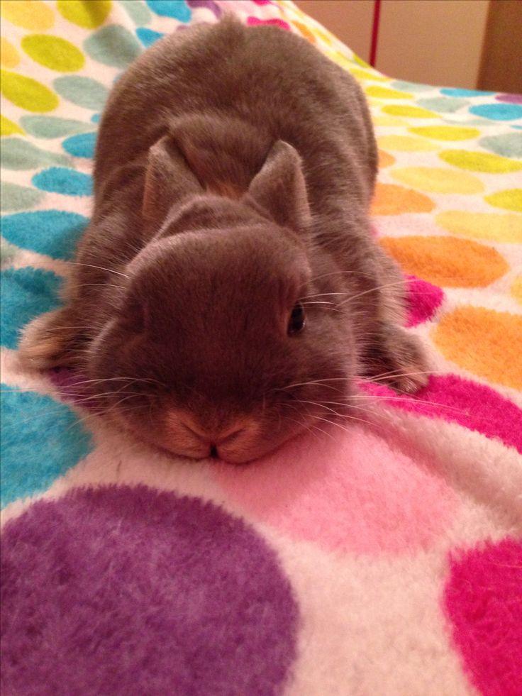 Netherland dwarf bunny ❤️