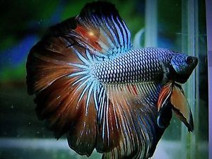 Live Betta Fish Imported Ultra Rare Gorgeous Color Over
