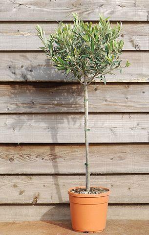 Tesco direct: olive tree - (mini 1/2 standard) (Olea europaea)