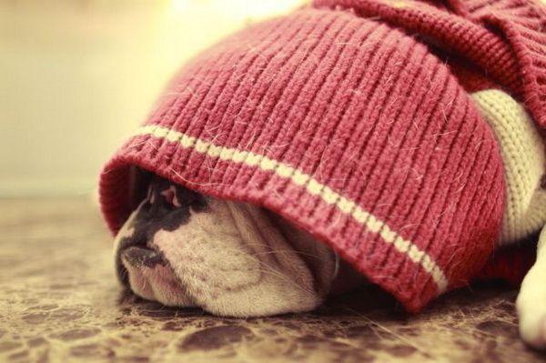 Slapende bulldog | Snuffelknuffel