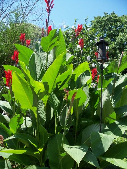 How to Attract Hummingbirds in Your Yard by Planting Canna Lily Lilies in Your Garden