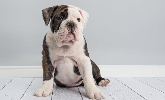 Cuidados del Bulldog inglés