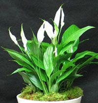 Plante dépolluante - spathiphyllum - fiche technique