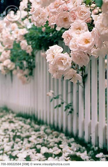 Dreamy roses and picket fence
