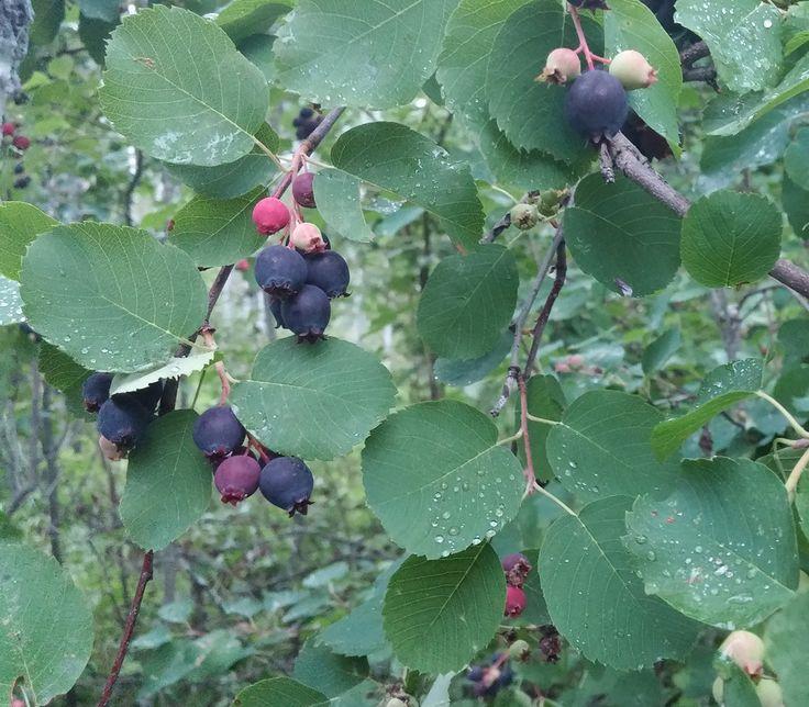 Amelanchier alnifolia  - Saskatoon Serviceberry  - Seeds