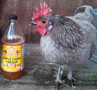 Adding apple cider vinegar and garlic to a chickens diet may help ward off pests and a number of diseases