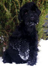 alrewas black russian terriers