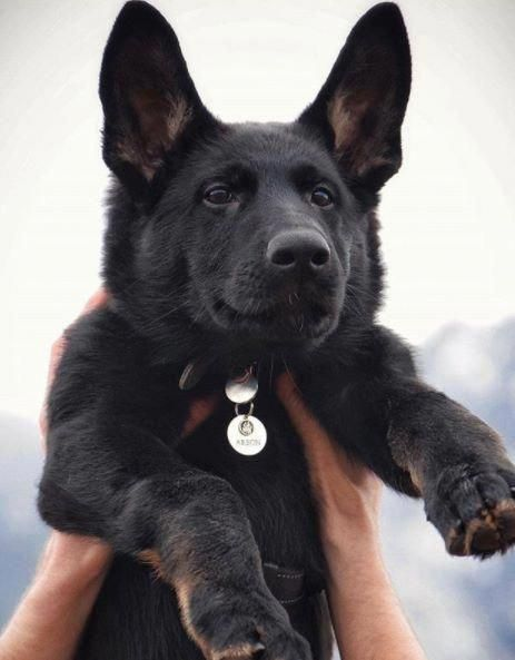 Read More About The Confident German Shepherd Puppies Size  #GermanShepherdsThroughNovember #germanshepherdsonline #GermanShepherdPup
