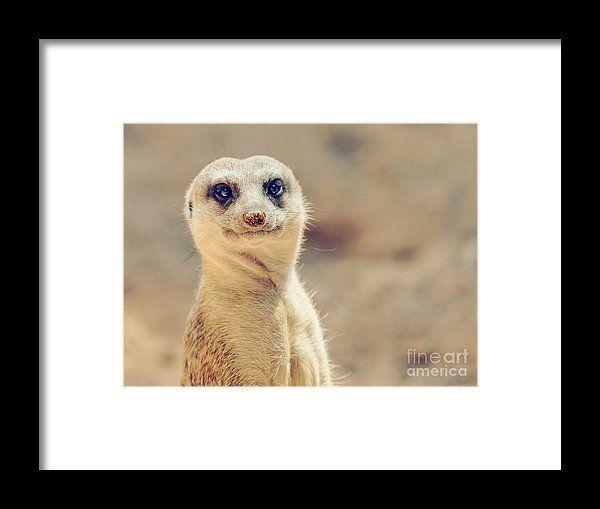 Meerkat Or Suricate Suricata Suricatta In Africa Framed Print