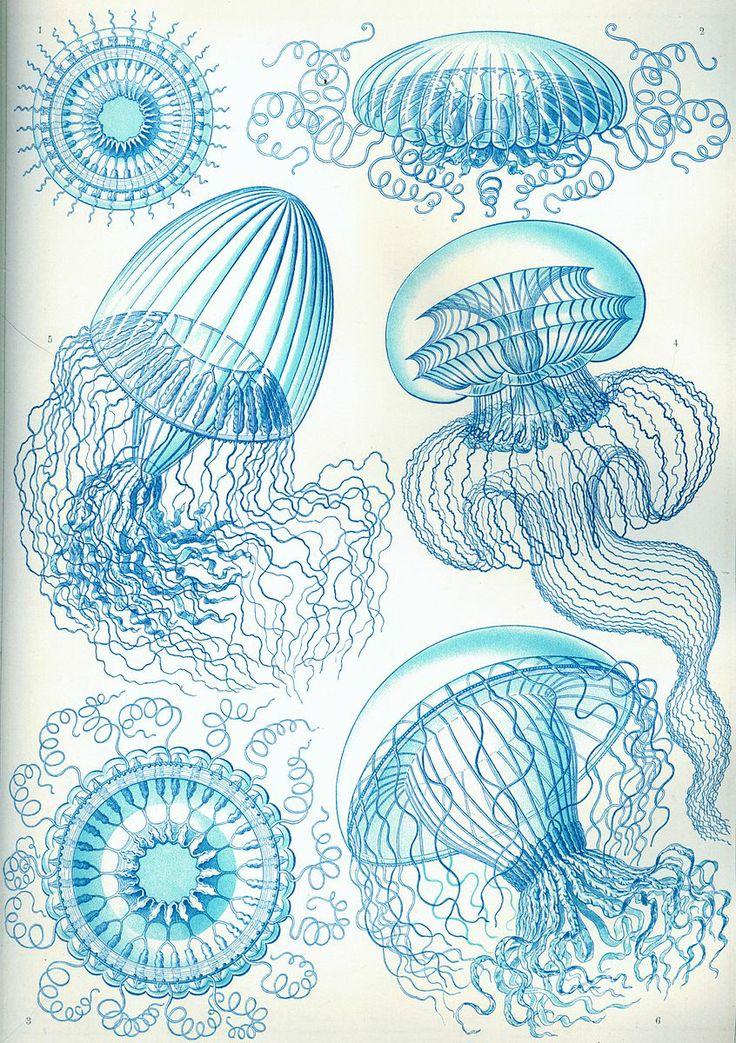 Ernst Haeckel: Kunstformen der Natur (1904), plate 36: Leptomedusae