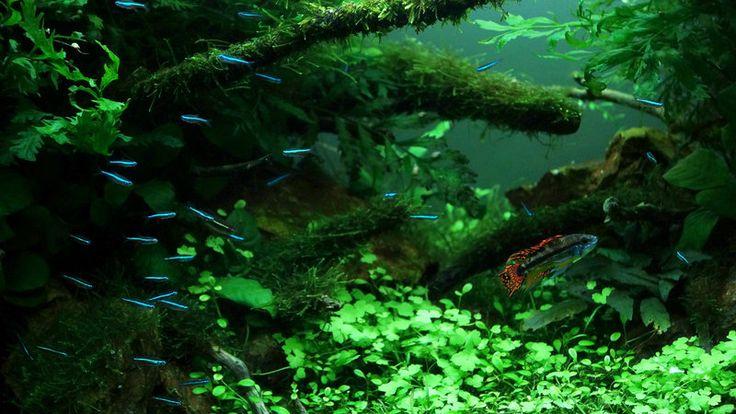 D tails par florianf aquascaping aquarium fish for 405 tropical fish