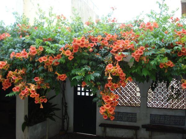 цветущий лиана кампсис