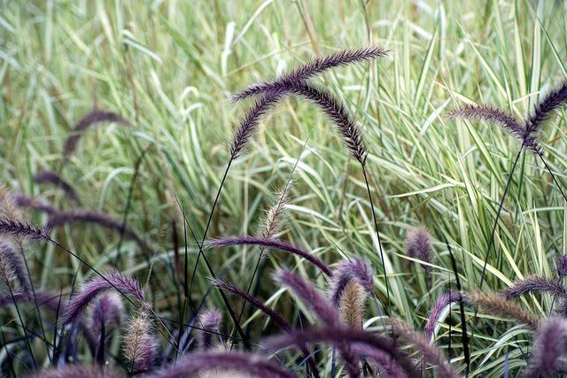 Purple fountain grass pennisetum setaceum to grow and for Ornamental grasses that bloom