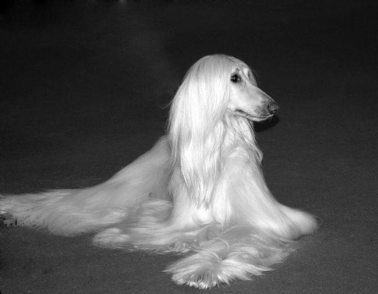 Afghan Hound  El Afghan Hound (también conocido como Galgo Afgano, Lebrel Afgano, Afghan Hound, Balkh Hound, Persian Greyhound, Baluchi Hound, Barutzy Hound, Shalgar Hound, Kabul Hound, o Galanday Hound) es un perro de caza procedente de Afganistán.