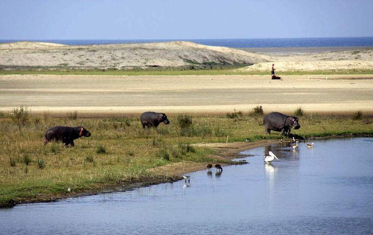 """Isimangaliso Wetland Park è stato insignito del titolo """"World Heritage Site""""del Sud Africa unico luogo del pianeta dove il più antico mammifero terrestre"""