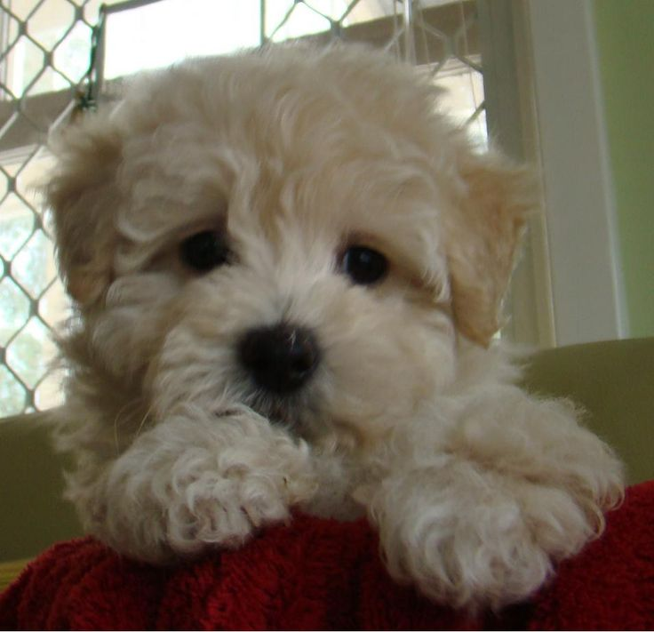 maltese mixed with poodle best 25 miniature maltese ideas on pinterest poodle mix 9228