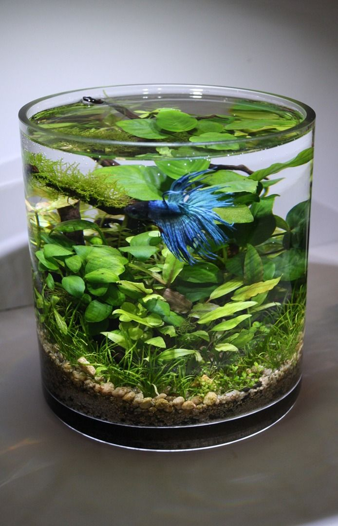 Saw a gorgeous tank w/Neon Tetras & had to find out more. Love the background of these piece of art: Aqua Bonsai is a creative living art of micro aqua landscape in a vase or container with an abundance of aquatic plants. By using the natural ecosystem to maintain its life, it shows the harmony of living things. No air pump needed as the plants give off oxygen- it's just so peaceful! aquabonzai.com
