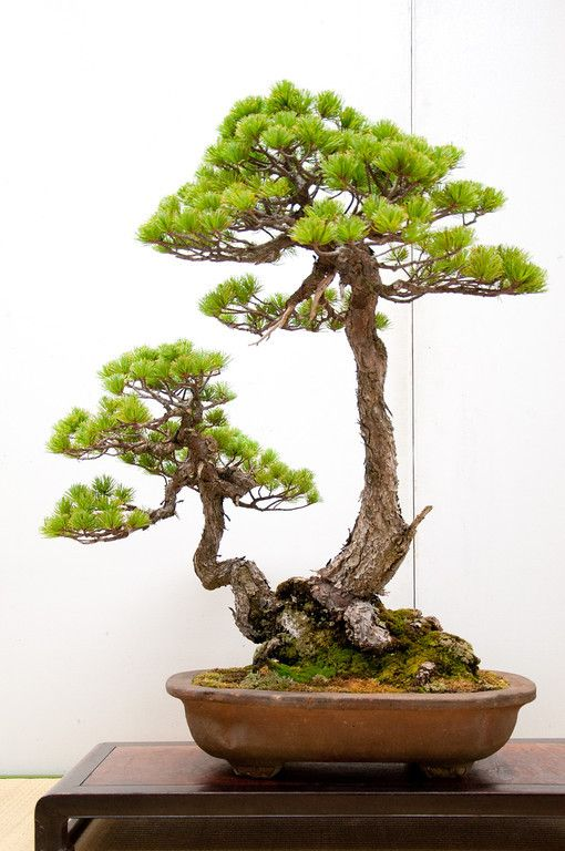 Two-trunked White pine,bonsai, nice trunk movement