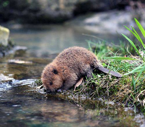 "yourstrulyfranca: "" awwww-cute: "" I think we all need more baby beavers in our life (Source: http://ift.tt/20Ikzyz) "" """