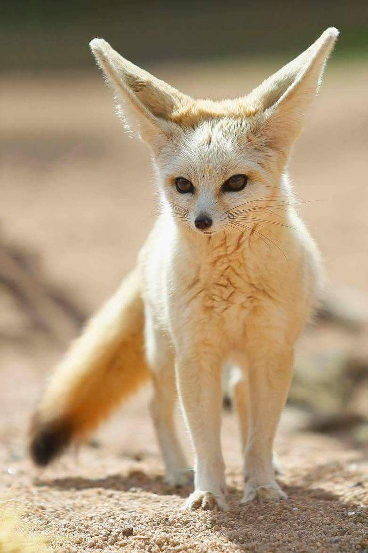 11 Best Fennec Fox Images On Pinterest Wild Animals