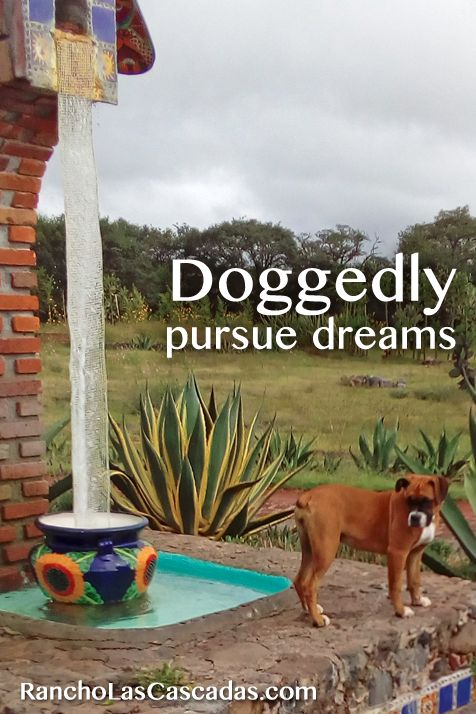 boxer dog, fountain, talavera pot, mexican ranch, hacienda, happy dog