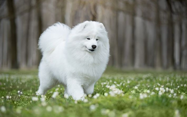 Download wallpapers white fluffy dog, samoyed, green grass, friendly dogs, pets, white dog