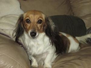 Ivory IL is an adoptable Dachshund Dog in Highland, IL. Ivory is a 3 yr old beautiful creme long hair piebald dachshund that is super sweet. She is in rescue because her family could not longer care...
