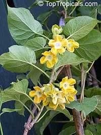 Telosma cordata, Telosma minor, Pakalana vine, Tonkin Jasmine, Cowslip Creeper, Telosoma plant (1 gal) for sale $44.95