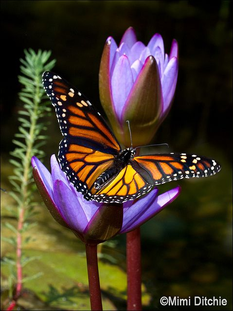 ~~Butterfly And Water Lilies by Mimi Ditchie~~