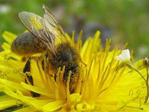 Cornucopia's Take: If voted in by European Union states, three common neonicotinoids that pose a high risk to bees may be banned from European agriculture.
