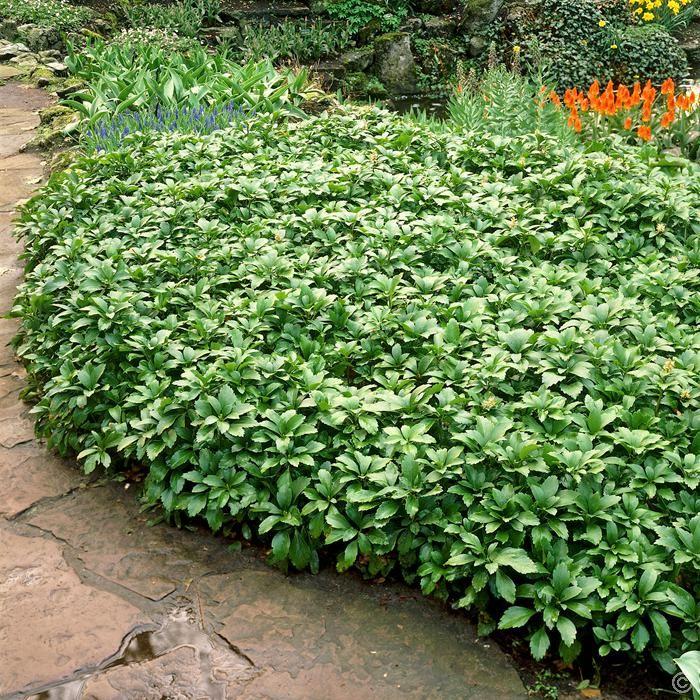 Pachysandra terminalis Green Carpet - 1 shrub Buy online order yours now