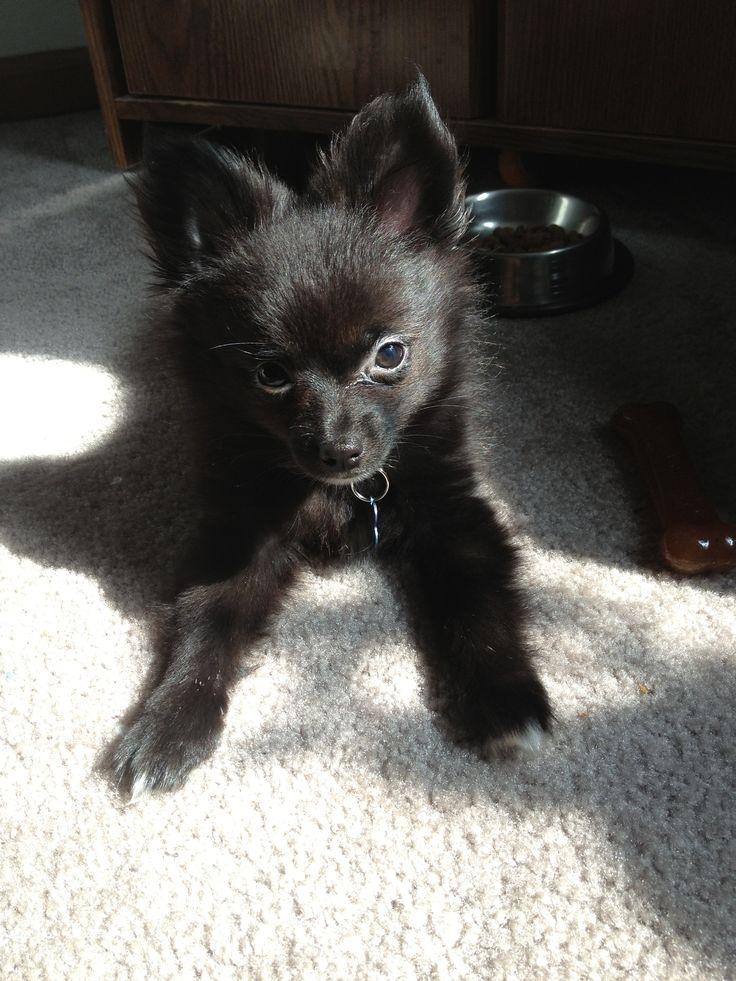 Black Pomeranian puppy.