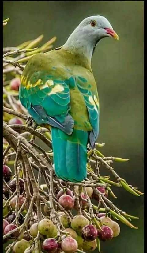 Dove or pigeon family never knew they could be so colorful The only ones I ever saw were bland colors ( MO USA)
