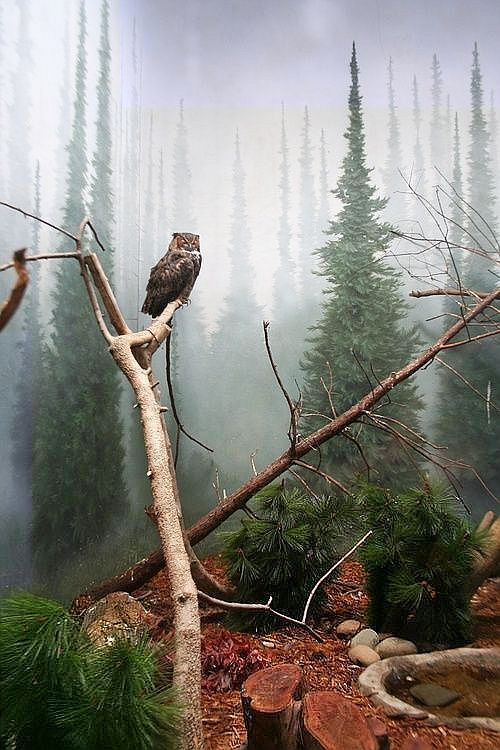 #Mount Hood, #Oregon, USA - #Owl