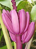 Buy Musa Ornata Royal Purple Banana Plants, For Sale Online, How to grow & care for.