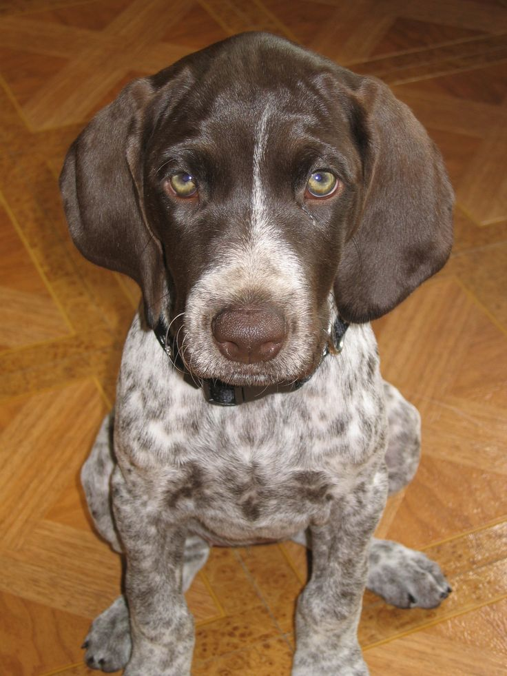 German Wirehaired Pointer Breeders Nc 2021