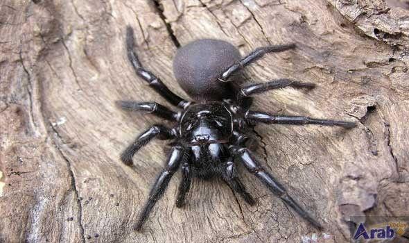 Dangerous funnel-web spiders on move in Australia
