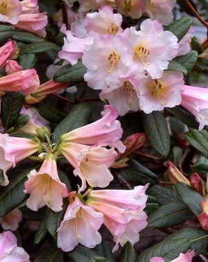 Rhododendron Countess of Haddington
