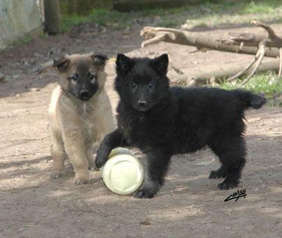 Venta de Cachorros Ovejeros Belgas