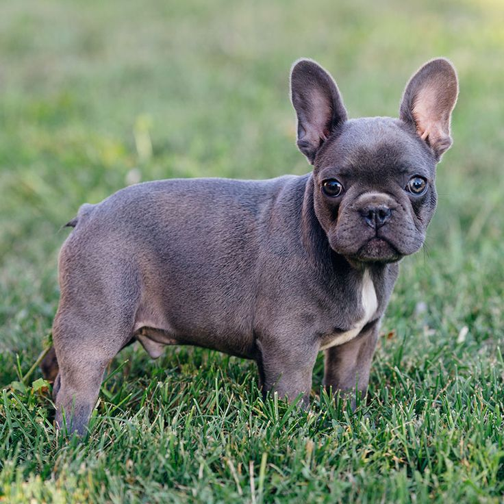 Teacup Blue French Bulldog Puppies For Sale