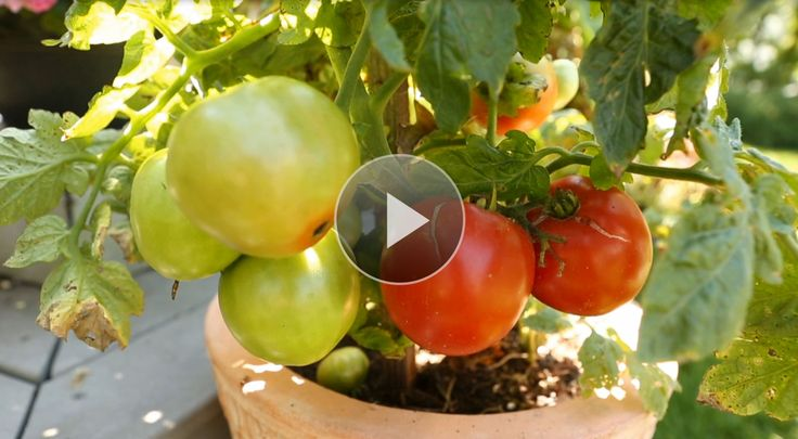 Growing tomatoes in containers is easy! Tomato container gardening is the perfect way to enjoy homegrown tomatoes. Growing tomatoes in pots works great when you're short on space. Plant tomatoes in containers and follow these tips for your best tomatoes ever.