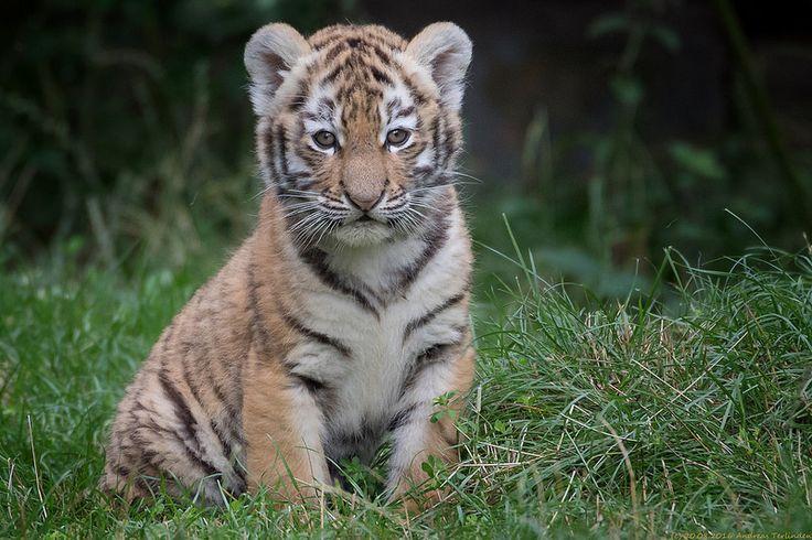 Tiger Portrait | by gosammy1971