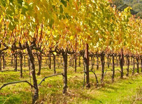 Формировка винограда, виноградник
